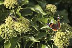 red-admiral-rodagon-150mm-40d-12566