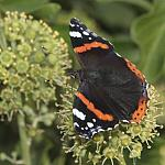 red-admiral-rodagon-150mm-c-40d-12523