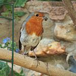 Robin - 500mm - 60% crop - 400D-10502