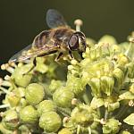 Hoverfly on ivy - Tamron 80-210mm 03A lens - 50%-400d-13204