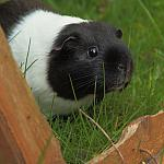 Guinea-pig - Tamron 70-150mm F/3.5 - 50-400d-13776
