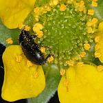 beetle-yellow-flower-100c-10731
