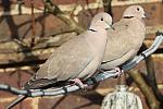 40d-01695 - Doves - SP60-300 + SPX2 01f - 50% crop