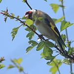 Goldfinch - Tamron 01F with 60B - 50-40-04520