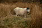 sheep-sp28-80-6D7243