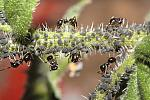 ants-aphids-4082